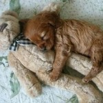 Puppy_and_Teddy